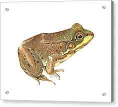 Green Frog Acrylic Print by Cindy Hitchcock