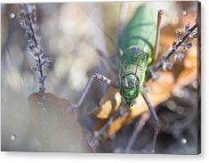 Green Grasshopper Ephippiger Acrylic Print by Jivko Nakev