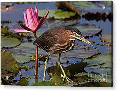 Green Heron Photo Acrylic Print by Meg Rousher