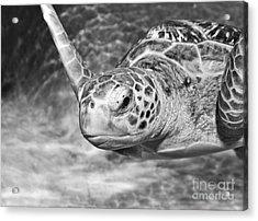 Green Sea Turtle. Acrylic Print by Jamie Pham