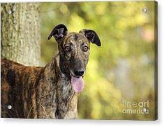 Greyhound Dog Acrylic Print by John Daniels