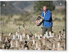 Griffon Vulture Conservation Acrylic Print by Nicolas Reusens