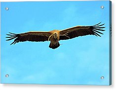 Griffon Vulture In Flight Acrylic Print