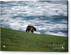 Acrylic Print featuring the photograph Grizzly Bear On Frozen Lake Yellowstone by Shawn O'Brien