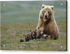 Grizzly Bear Sow W4 Young Cubs Near Acrylic Print by Eberhard Brunner