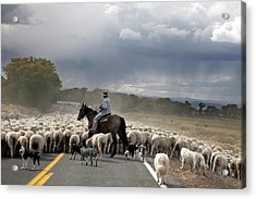 Herding Sheep Acrylic Print by Jim West