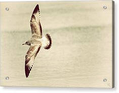 Herring Gull In Flight Acrylic Print by Karol Livote