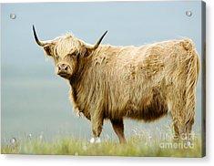 Highland Cow Acrylic Print by Duncan Shaw