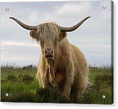 Highland Cow On Exmoor Acrylic Print