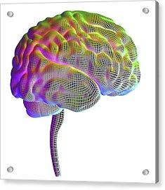 Human Brain Acrylic Print by Alfred Pasieka