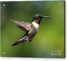Hummer In Flight Acrylic Print by Douglas Stucky