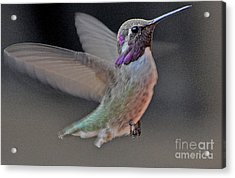 Hummingbird In Flight Acrylic Print by Jay Milo