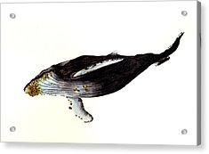 Humpback Whale Acrylic Print by Michael Vigliotti
