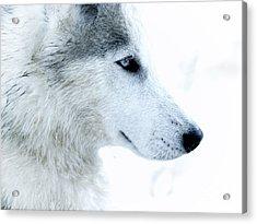 Husky Acrylic Print by Stelios Kleanthous