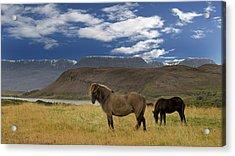 Icelandic Horses Acrylic Print