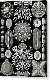 Illustration Shows Algae. Diatomea. - Schachtellinge Acrylic Print by Artokoloro