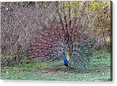 Indian Peacock Displaying Acrylic Print