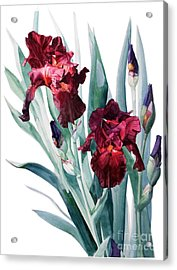 Dark Red Tall Bearded Iris Donatello Acrylic Print