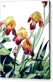 Watercolor Of Tall Bearded Irises I Call Iris La Vergine Degli Angeli Verdi Acrylic Print
