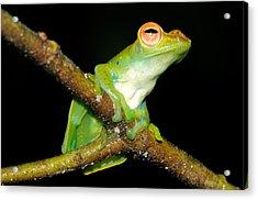 Jade Tree Frog, Malaysia Acrylic Print