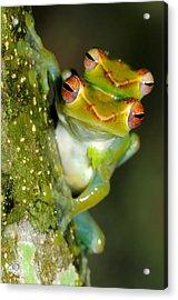 Jade Tree Frogs Mating Acrylic Print