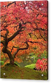 Japanese Maple In Fall Color, Portland Acrylic Print by William Sutton