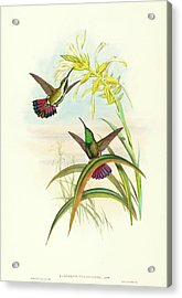 John Gould And H.c Acrylic Print by Litz Collection