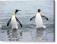 King Penguins Emerge From A Fishing Trip Acrylic Print by Ashley Cooper