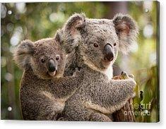 Koala And Joey Acrylic Print