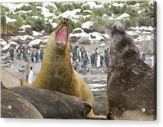 Large Bull Southern Elephant Seal Acrylic Print