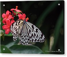 Large Tree Nymph Butterfly Acrylic Print