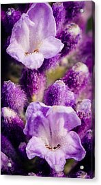 Lavender Acrylic Print by Cathy Donohoue