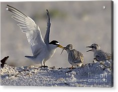 Least Tern Feeding It's Young Acrylic Print by Meg Rousher