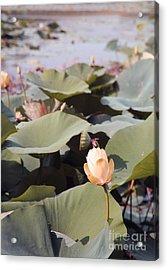 Lotus  Acrylic Print by Amanda Barcon