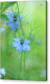 Love In A Mist Acrylic Print by Rebeka Dove