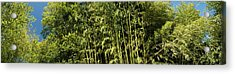 Low Angle View Of Bamboo Trees Acrylic Print
