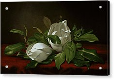 Magnolia Acrylic Print by Martin Johnson Heade