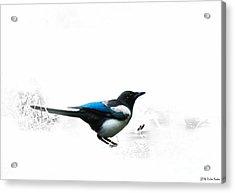 Magpie Acrylic Print by Jivko Nakev