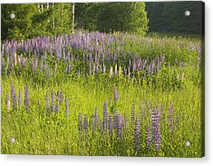 Maine Wild Lupine Flowers Acrylic Print by Keith Webber Jr