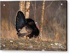 Male Eastern Wild Turkey Acrylic Print by Linda Freshwaters Arndt