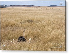 Male Ostrich Sitting On Communal Eggs Acrylic Print by Gregory G. Dimijian, M.D.
