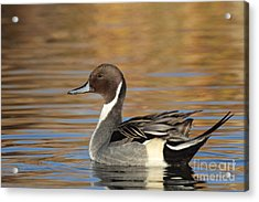 Male Pintail Acrylic Print by Ruth Jolly