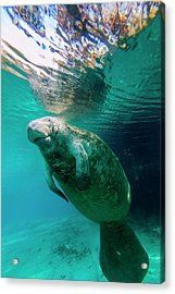 Manatee Swimming In Clear Water Acrylic Print by James White