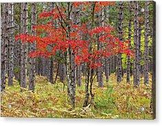 Maple Trees In Fall Colors, Hiawatha Acrylic Print