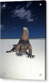 Marine Iguana Acrylic Print by Mark Newman