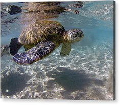 Maui Turtle Acrylic Print by James Roemmling