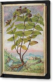 Medicinal Plant Acrylic Print by British Library