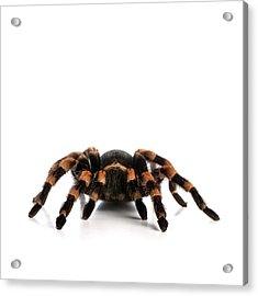 Mexican Redknee Tarantula Acrylic Print by Science Photo Library