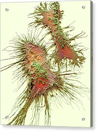 Microglia Acrylic Print