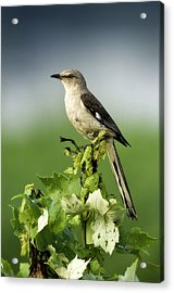 Mocking Bird Acrylic Print